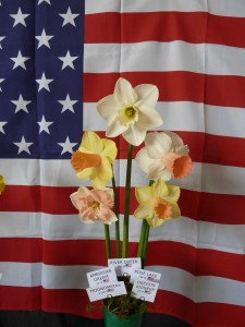 The American Daffodil Society Ribbon Winning Entry - Shown by Derek Phillips