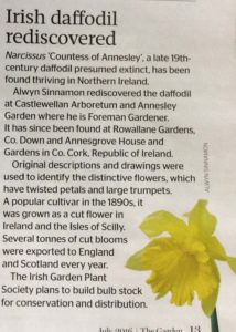 Irish Daffodil Rediscovered