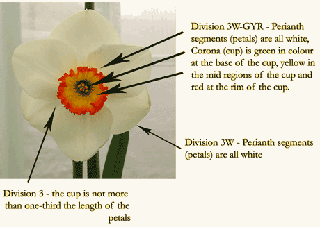 Classification System   The Daffodil Society