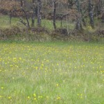 N. bulbocodium meadow - growing like buttercups