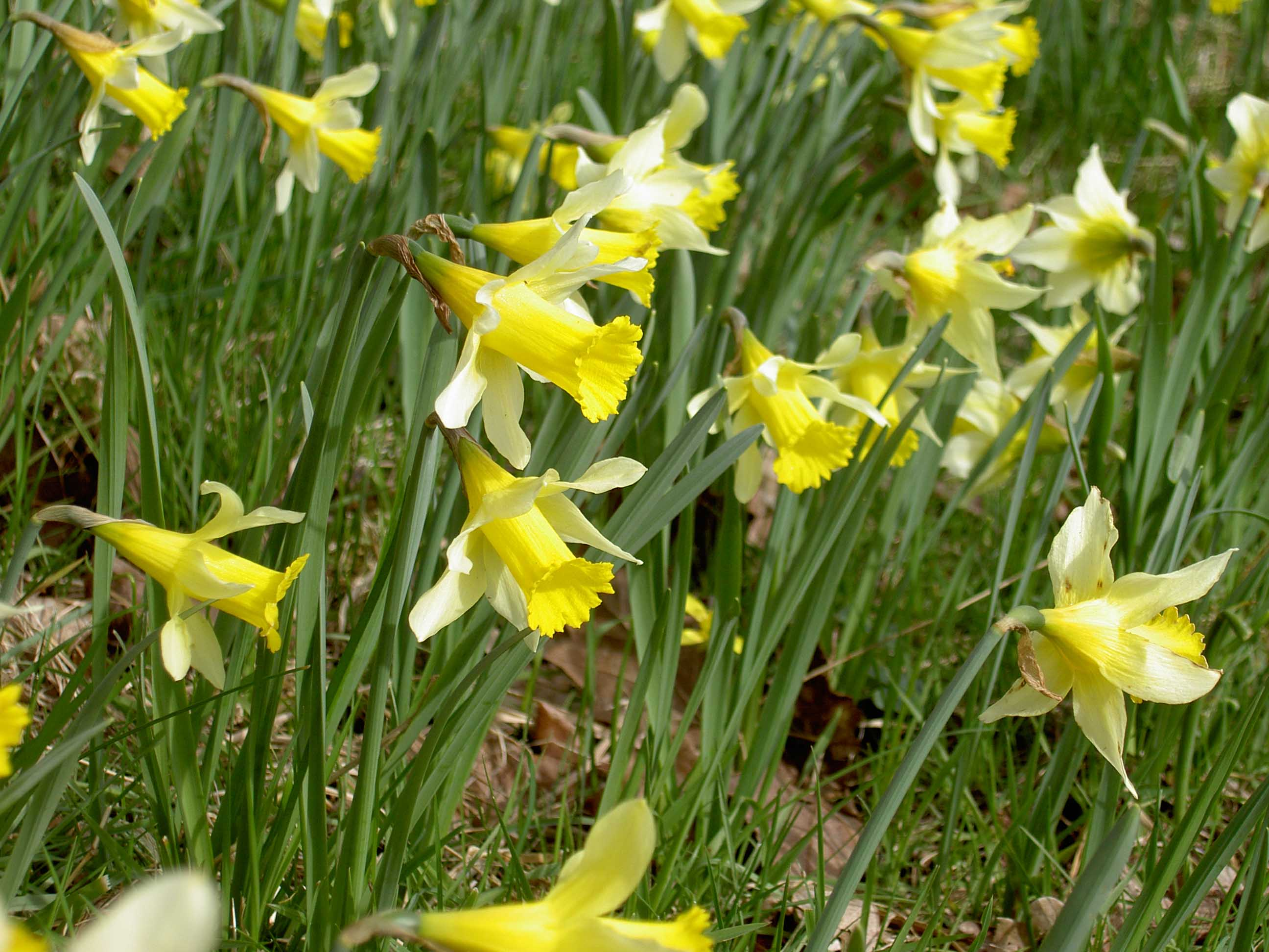 Gloucestershires golden triangle the daffodil society the gloucestershire wildlife trust is the custodian of the native wild daffodils in and around the golden triangle their website has some fascinating izmirmasajfo